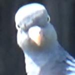 Wood_Pigeon